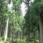 国産ヒノキ林